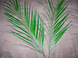 Freshly Pressed Palm Areca