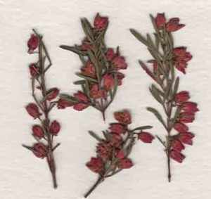 Pressed Boronia Flowers